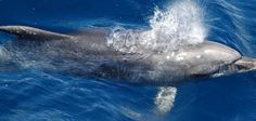 Dolphin in Mozambique