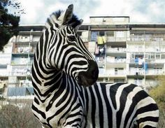 Cops say man was driving drunk with zebra and parrot in car (© DAVID MDZINARISHVILI/Reuters) #weird via @HowzitMSN