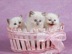 ragdoll kittens in pink basket