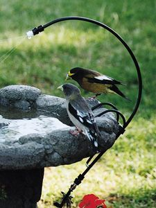 When most people think of providing water to birds, they think of a bird bath. Birds are attracted to the sound of moving water. Attaching a dripper or mister to your bird bath provides a source of moving water which backyard birds find irresistible! Many birds such as chickadees, finches and titmice will land on the dripper spout and creep down to the end and lean over to take a drink!