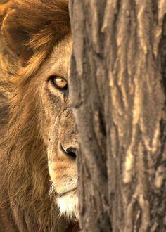 A big male lion in the serengeti, tanzania