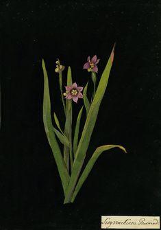 Mary Delany, Sisyrinchium Bermudianum collage, 1778 .