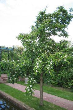 Mespilus germanica (Mispel), leuke kleine boom, bloeit op tweejarig hout, vruchten moeten lang aan boom blijven hangen, na nachtvorst oogsten (gelei, jam) (5-6m)
