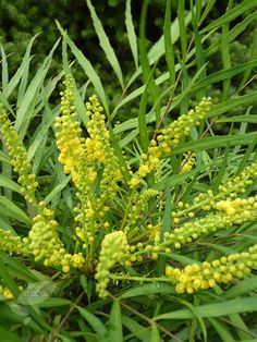 Buy RHS Chelsea Flower Show Plant of the Year 2013 Mahonia eurybracteata 'subsp. ganpinensis Soft Caress (PBR)': Delivery by Crocus