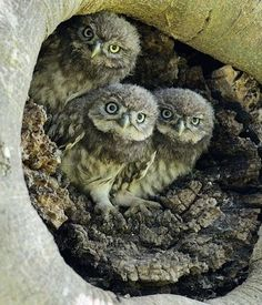 owl chicks waiting in their nest