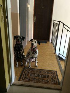 Hello! Can we come in? Dalmatians Haidi&Fox