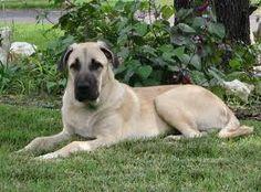 Anatolian Shepherd Unique Dog Breeds, Rare Dog Breeds, Popular Dog Breeds, Big Puppies, Big Dogs, Cute Dogs, Quotes About Photography, Dog Photography, Newborn And Dog