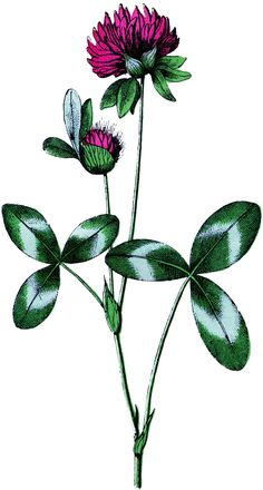 Vintage Clover Flower Image - Free from Graphics Fairy