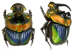 Sulcophanaeus imperator   photos by Udo Schmidt from his amazing Beetles of the World collection.