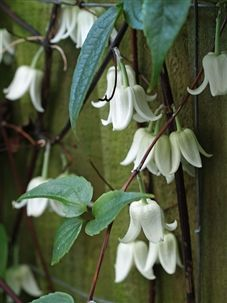 Clematis urophylla 'Winter beauty' - Winter flowering evergreen clematis