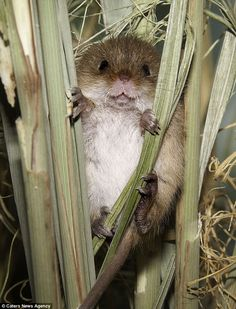 harvest mouse in Britain