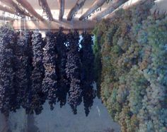 Drying grapes the vertical method. Appassimento is the Italian name for the grape-drying process used in Italy to produce Amarone wines.