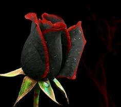 Exotic Rose