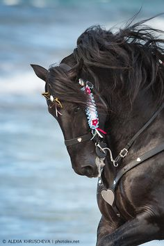 Black horse with ornate tack. All The Pretty Horses, Beautiful Horses, Animals Beautiful, Beautiful Creatures, Pretty Animals, Black Horses, Wild Horses, Horse Photos, Horse Pictures