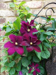 Clematis - This is a beautiful climbing garden plant.  It doesn't require much care since the previous year's growth will host the next years blooms.