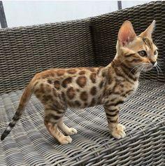 Top 14 der verspieltesten Katzenrassen - All About Kittens - Chat Cute Cats And Kittens, I Love Cats, Crazy Cats, Kittens Cutest, Kittens Meowing, Fluffy Kittens, Cutest Cats Ever, Fluffy Cat, Crazy Cat Lady