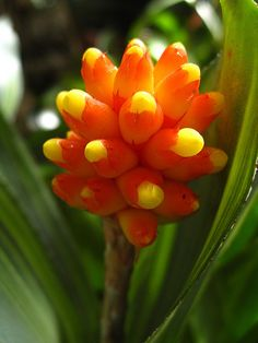 candy corn plant Botanical Name: Manettia inflata  A vigorous climber, you can train Candy Corn Plant on a trellis. Its densely covered twining stems look even more lush when gathered around a support.