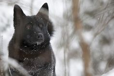 Norwegian Elkhound. This is a beautiful dog. They are extremely independent and like to bark. They are loyal and good guard dogs.