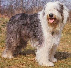 And yes, obviously, of course, Old English Sheepdogs are out-of-this-world phenomenal.