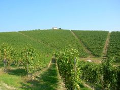 Nervi´s vigneto Molsino - natural South facing amphitheatre - 10 ha of Nebbiolo vines