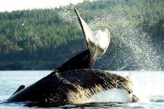 Splash Whale, Cute Animals, Pretty Animals, Whales, Cute Funny Animals, Cutest Animals