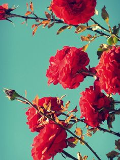 I love the combination of the blue/green sky and the  red and green roses.