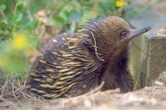 Short-beaked Echidna foraging in Ninety-Mile Beach, Victoria, Australia http://travel4wildlife.com/four-echidna-facts/#.UuhOrfYo5r4