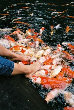I've done this pretty much the coolest thing ever...stick the Koi food between your toes all come on your feet(: