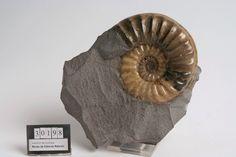 Asteroceras obtusum. Diamètre 9 cm. Jurassique inférieur de Lyme Regis, en Angleterre.