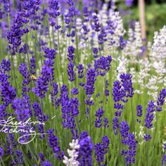 We love lavender. How to grow lavender? Lavender is a great material for our creativity. Inspiration on diy and crafts of lavender. Growing Lavender, Pesto, Wild Flowers, Diy And Crafts, Plants, Inspiration, Instagram, Projects, Biblical Inspiration