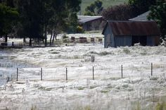 Millions of Spiders Rain Down on Australia—Why? - Picture of spider webs covering the ground in Australia