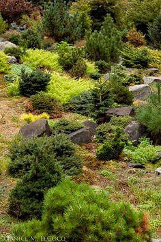Coenosium Gardens – A Conifer Laboratory! | form and foliage
