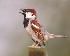 Male House Sparrow  - Courtship display