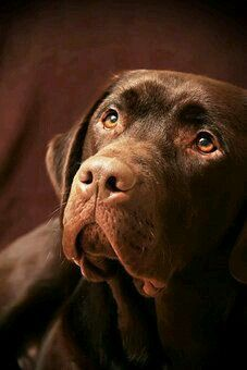 Mind Blowing Facts About Labrador Retrievers And Ideas. Amazing Facts About Labrador Retrievers And Ideas. Perro Labrador Chocolate, Chocolate Lab Puppies, Chocolate Labs, Big Dogs, I Love Dogs, Cute Dogs, Dogs And Puppies, Doggies, Labrador Retrievers