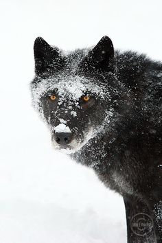 RIAZ Delgado / Psy-Changeling series. (Image Reference: wlf0287  Description: Wild Wolf Photograph - Bow Valley wolf pack.)
