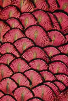"musts: "" by © Michael Fitzsimmons peacock feathers """