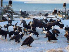 Flock of bald eagles Presque Isle Erie PA 2013