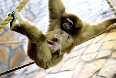 New Born beloruky gibbon at St Petersburg Zoo - Andrey Pronin/SIPA/REX