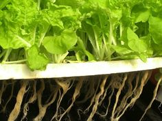 Hydroponic Gardening Ideas Hydroponics at home, Growing Vegetables - What exactly id hydroponics? This article is a comprehensive guide to all the essentials a beginner would need to get startred with hydroponics at home now! Home Hydroponics, Hydroponic Farming, Backyard Aquaponics, Hydroponic Growing, Hydroponics System, Aquaponics Plants, Vertical Hydroponics, Indoor Farming, Aquaponics Kit