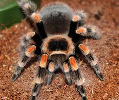 tarantula Mex red knee