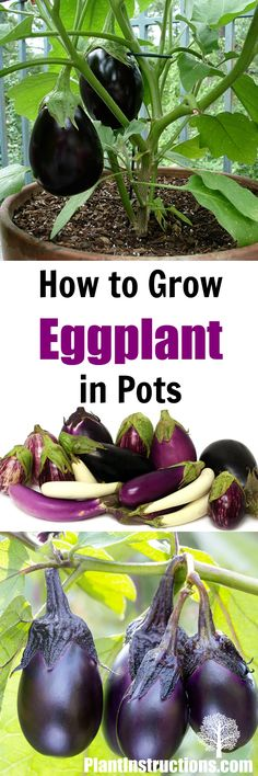 Grow Eggplant in Pots or containers the easy way!