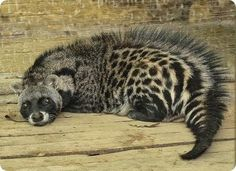 African Civet is a common viverrid native to tropical Africa. Unlike many other members of the family, which resemble cats, the African Civet resembles a short dog-like animal.