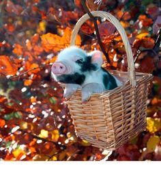осень поросёнок