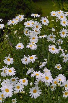 """"""" Sommermargerite, Staudenmagerite / Shasta Daisy, Max chrysanthemum (Leucanthemum maximum) """""""