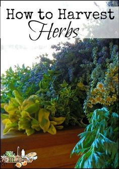 How to Harvest Herbs l Harvest and Dry Homegrown Herbs l Homestead Lady (.com)