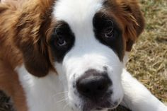 this is my 5 month old (2/22/12) St. Bernard Puppy, Grizzly