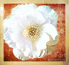 White Rose Photoart