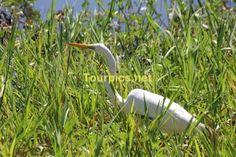 """Ein Silberreiher """"Eastern Great Egret"""" im Kakadu National Park im Northern Territory."""