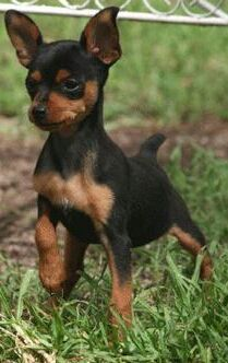 """Outstanding """"pinscher puppies"""" info is available on our internet site. Check it out and you wont be sorry you did. Mini Pinscher, Miniature Doberman Pinscher, Mini Doberman, Cute Chihuahua, Chihuahua Puppies, Cute Dogs And Puppies, I Love Dogs, Min Pin Puppies, Min Pin Dogs"""