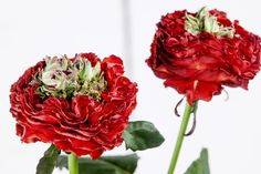 #Rose #Rosa #RedEye: Available at www.barendsen.nl